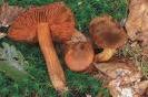 Паутинник оранжево-красный ядовитый